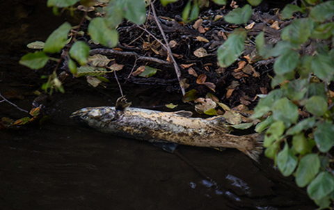 A photo of a carcass of a dead fish (a Chinook salmon) on the bank of a creek.