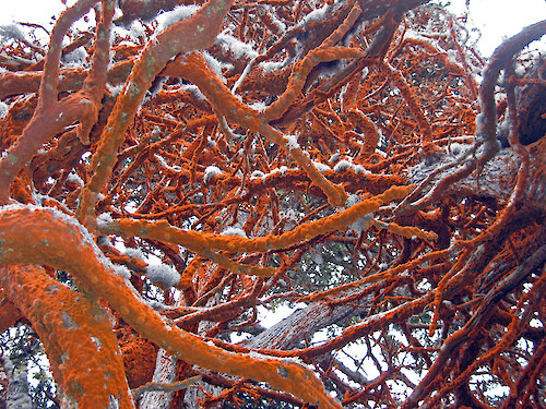 A microscopic algae (Trentepohlia aurea v. polycarpa) growing on Monterey cypress trees in Point Lobos State Reserve, California. The orange color comes from one of the pigments, beta carotene
