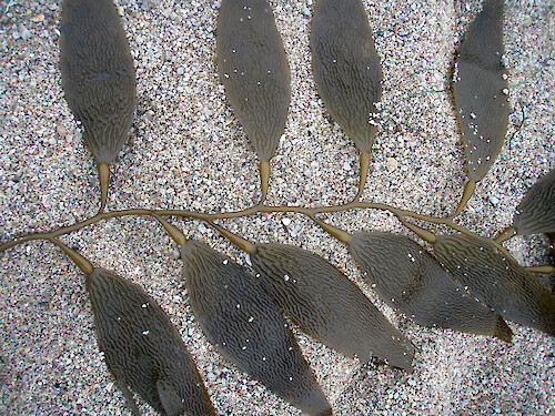 The kelp Macrocystis integrifolia washed up on a beach at Pacific Grove, California