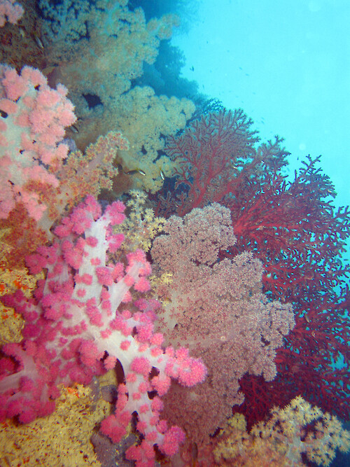 Soft coral at the Soft Coral Arch, Palau. The arch is formed by a limestone 'bridge' between two of the Rock Islands