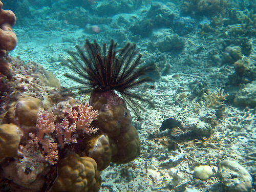 Feather stars are related to starfish and sea urchins. They filter feed by catching particles from the water column with their extended tentacles.