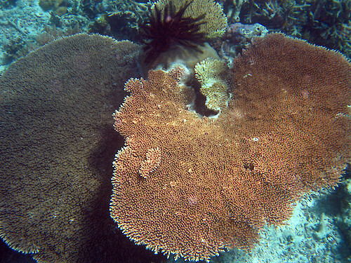 This plate coral was at one of the sites monitored by the Palau International Coral Reef Center