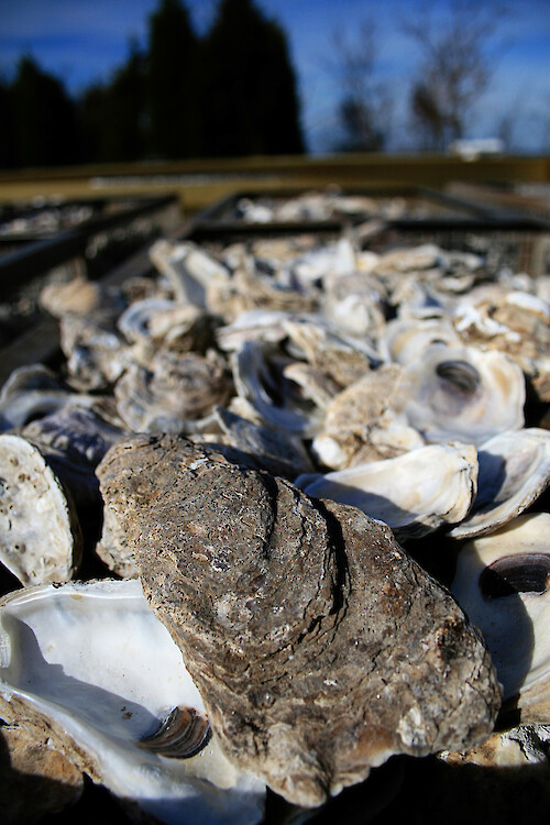 Oyster shells which will be used for larvae to settle on, as part of the Oyster Recovery Partnership's plan to restore oysters to Chesapeake Bay