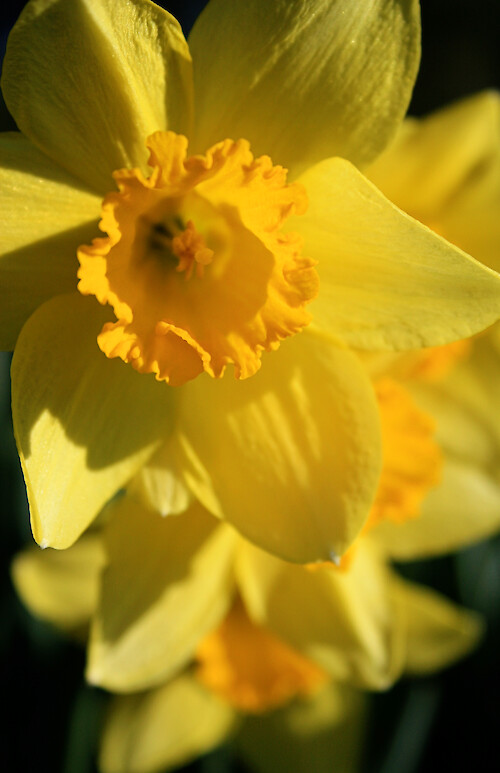 Blooming daffodils at the Horn Point Laboratory