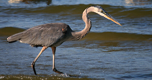 Great blue heron (Ardea herodias) on the shores of the Choptank River