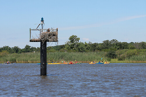 Osprey (Pandion haliaetus) and nest on the Chester River, with kayakers in the background