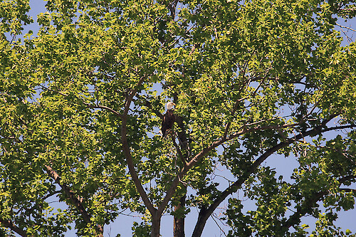 Bald eagle (Haliaeetus leucocephalus) in a tree beside the Chester River