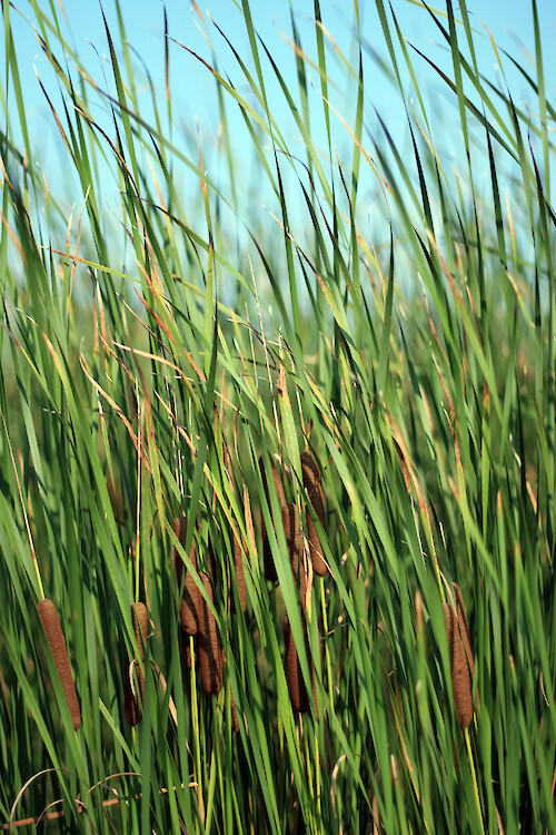 Cattails (Typhus spp) at Blackwater National Wildlife Refuge