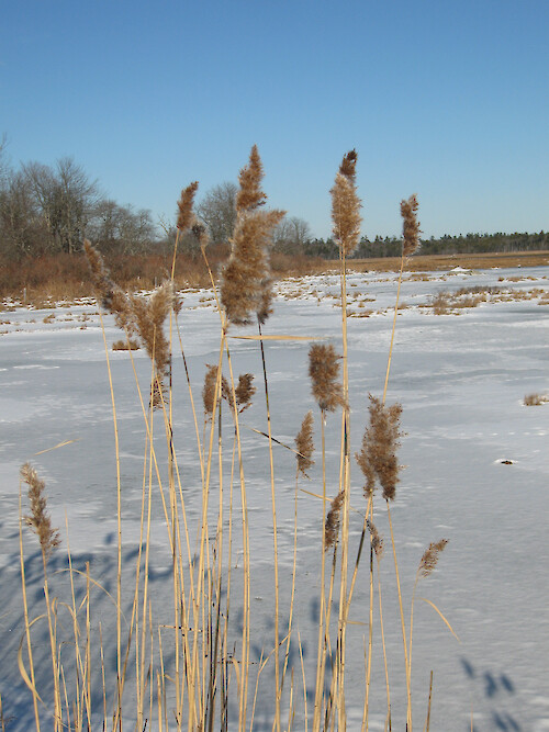 Frozen marsh along the barrier beach trail at Wells National Estuarine Research Reserve. This view looks toward the Little River.