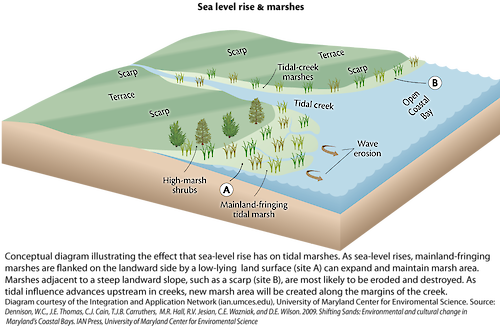 Conceptual diagram illustrating how sea-level rise creates mainland-fringing marshland, as well as how it affects existing marshes.
