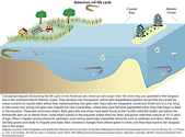 Conceptual diagram illustrating an American eel's life cycle based in the coastal bays of Maryland.