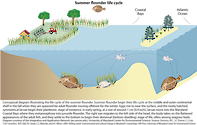 Conceptual diagram illustrating the life cycle of the summer flounder in the Maryland Coastal Bays.