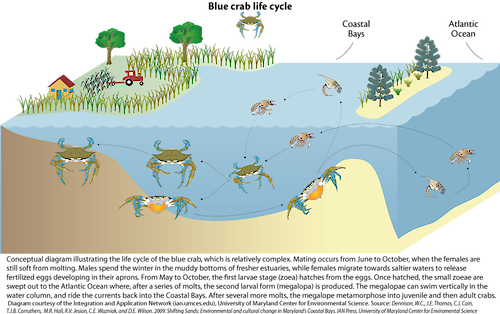 Conceptual diagram illustrating the complex processes in which a blue crab molts, mates, migrates, and develops eggs in the Maryland Coastal Bays.