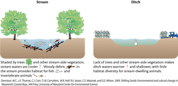 Conceptual diagram illustrating the differences between habitats in natural streams versus man-made ditches including the vegetation, water temperature, and the relative debris that contribute toward a habitat.