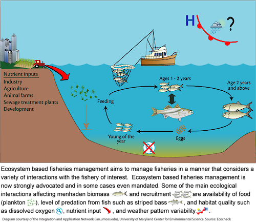 Conceptual diagram illustrating the idea of ecosystem based fisheries management, which aims to manage fisheries in a manner that considers a variety of interactions, both natural and anthropogenic, with the fishery of interest. This diagram focuses on the factors that affect Atlantic menhaden.