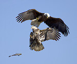 American Bald Eagles fighting over a fish at the Susquehanna River in Maryland.