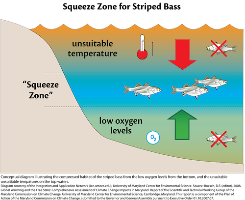 Conceptual diagram illustrating the affects of climate change on the habitat of striped bass in a coastal/marine ecosystem.