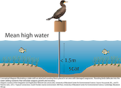 Conceptual diagram illustrating a stake with an attached roosting block placed in an area with damaged seagrasses. Roosting birds defecate into the water adding nutrients that stimulate seagrass growth and recovery across the damaged area.
