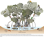 Conceptual diagram illustrating several of the more notable species provided habitat by mangrove forests.