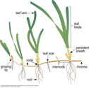 Illustration of the morphology of Zostera capensis (marine eelgrass).