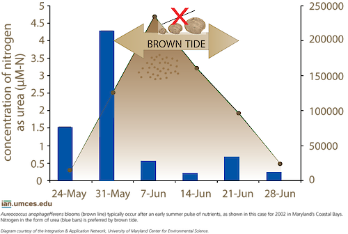 A graph shows the relationship between nitrogen levels and the brown tide cell concentrations in Maryland's Chesapeake and Coastal Bays.