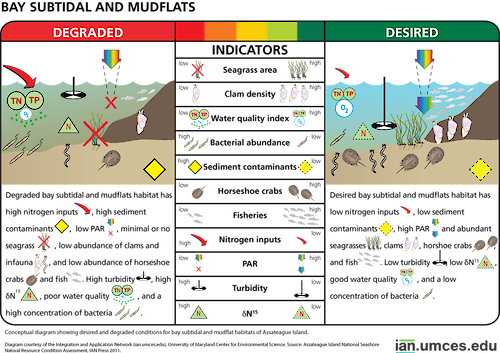 Diagram illustrating desired and degraded condition of bay subtidal and mudflat habitats of Assateague Island.