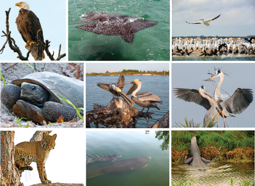 The Indian River Lagoon species composition is very diverse. Photos from Smithsonian Marine Station at Fort Pierce.