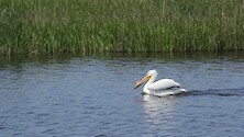 A pair of white pelicans swimming through a marsh.