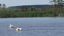 Short clip of two White Pelicans while a Great Blue Heron stalks fish in the background