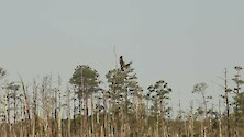 American Bald Eagle flying amongst a ghost forest on the eastern shore of Maryland.