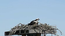Shot of an osprey in a platform nest at Blackwater park.