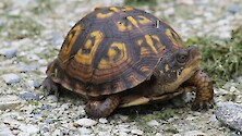 A lovely little boxturtle decided to stop for us on a gravel path, give them a hand!