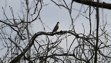 Morning dove silhouetted in a dark tree.