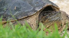 A pregnant female snapping turtle stopped long enough for us to get this shot of them.