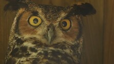 close up on a great horned owl.