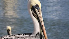 Brown pelican waiting for its next hunt.